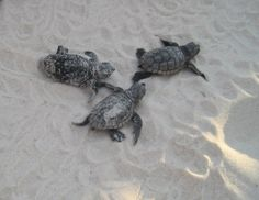 Loggerhead Baby Turtles on the Beach...makes me thing of my and my kids playing at the beach!!