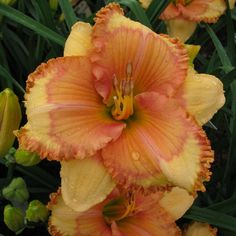 MEME'S GUILTY PLEASURE   BROWNS FERRY GARDENS... The Daylilies Of Charles Douglas