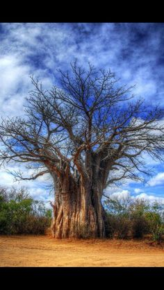 Boabab Tree - Kruger National Park, South Africa - Explore the World with Travel… Kruger National Park, National Parks, Parque Natural, Beautiful Places, Beautiful Pictures, Beautiful Sky, Baobab Tree, Unique Trees, Old Trees