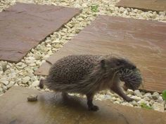 Hedgie mama with baby