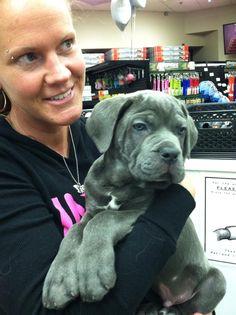 Hooch - 9 week old Cane Corso Italian Mastiff