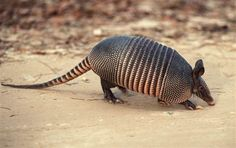Eating armadillos blamed for leprosy - Health - Infectious diseases | NBC News