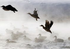 = News In Pictures – Extreme cold weather hits Europe Ducks take off from a pond in Minsk, Belarus on February (Sergei Grits/Associated Press) Cool Pictures, Cool Photos, Beautiful Pictures, Wild Animals Pictures, Big Chill, Duck Hunting, Wonderful Images, Wonderful Time, Habitats