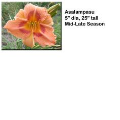 """Asalampasu"" daylily $7.50 per double fan at Smithdaylilies.com"