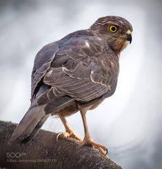 The Hunter by Y K A Sparrow Hawk in search of his prey with its vigilant and killer eyes. Y K: Photos Wild Life, Wolf, I Love The World, Birds Of Prey, Tiger, Animals, Life Photography, Animales, Animaux