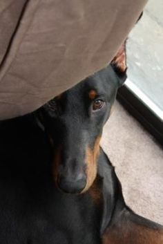 doberman pinscher. I really want to get a doberman so that Billy, my min pin, can have a mega-me. It only seems right. #dobermanpinscher