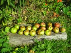 How Food Tastes in Fresh Produce Have Changed.    Photo: Freshly Picked Apples from the Tree