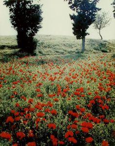 Poppy Field in Eretria, Euboea, Greece photographed Eliot Porter