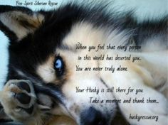 A dog will teach you unconditional love. If you can have that in your life things won't be too bad. huskies husky dog husky adoption a husky dog a husky puppy husky breeds husky baby husky blue eyes husky colors Tg; Husky Humor, Husky Quotes, Siberian Husky Funny, My Husky, Husky Puppy, Siberian Huskies, Baby Huskys, Animals Beautiful, Cute Animals