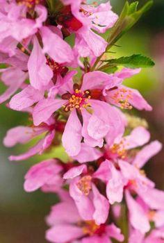 Prunus tenella Tree Planting, Trees To Plant, Prunus, Fingers, Seeds, Spring, Green, Beautiful, Flowers
