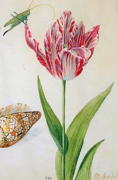 petitpoulailler:    stilllifequickheart: 1639Jacob Marrel (German c1613-81) ~Two Tulips, a Shell and an Insect, [detail]