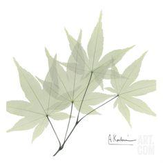 Japanese Maple • Albert Koetsier