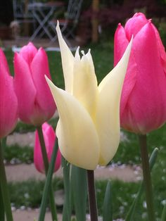 Stunning tulips Little Acorns, Planting, Tulips, Garden Design, Rose, Flowers, Ideas, Plants, Pink