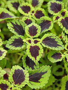 Coleus, shade-loving trailing -  Light:ShadeZones:2-11Plant Type:Annual,Indoor Plant  Height:1-4 feet tallPlant Width:1-3 feet wide Landscape Uses:Containers,Beds & BordersSpecial Features:Attractive Foliage,Easy to Grow