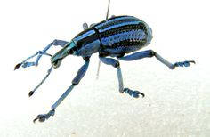 Weevil beetle tropical insect from Papua New Guinea