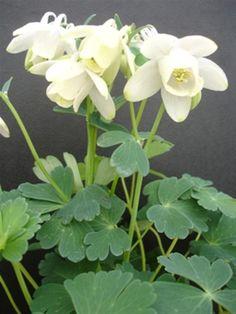 Aquilegia flabellata var. pumila 'Alba'