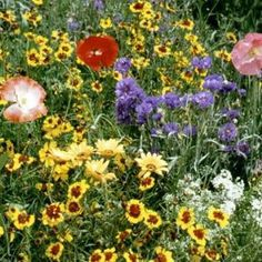 Drought Resistant-Xeriscape Wildflower Mix 1,000+ Seeds by Refining Fire Chiles. $1.45. Buy from a Certified California Nursery. A mix formulated for dry areas or Xeriscaping. Fill your yard with color and save on watering!. Registered CA. Seed Seller. Drought Tolerant Wildflower mix-Instead of having weeds cover your hillsides and empty spaces why not cover it with Wildflowers! This blend is a dry land mix or drought mix. Perfect for xeriscaping too! Annuals in this blend re-s...