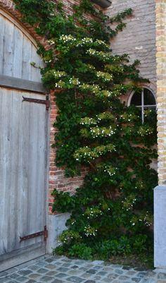 Climbing Hydrangea shade-part shade