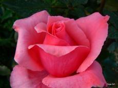 сироп от рози - вълшебен еликсир