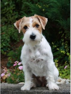 Jack Russell (looks more like a close relation, but completely separate breed, the Parson Russell Terrier, which I love). http://www.akc.org/breeds/parson_russell_terrier/index.cfm