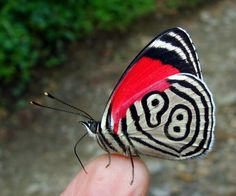 The lovely eighty 8 butterfly or diaethria clymena belonging to South as well as Central America. They are called after the black as well as white red stripes on their underwing that synopsis the number 'eighty eight'.