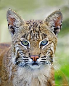 Wild Bobcat - A young bobcat with dual color eyes.