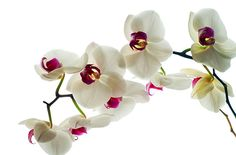 The Use of Orchids in Medicine <3 http://www.justaddiceorchids.com/Just-Add-Ice-Orchid-Blog/bid/95356/The-Use-of-Orchids-in-Medicine #massageenvyhi   #aromatherapy   #orchids   #health   #wellness   #beauty   #joy   #happiness   #themoreyouknow