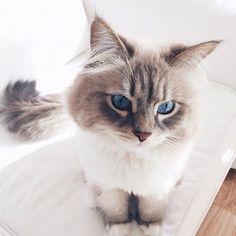 #animal #animals #cat #girl #girly #grey #kitten #summer #white #cute #love