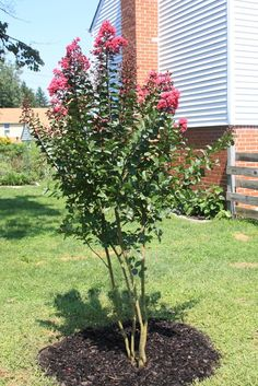 Crepe myrtle is an ornamental tree that produces beautiful flower clusters. Look at how to propagate crepe myrtle from seed, roots or crepe myrtle propagation by cuttings in this article.