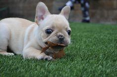 """I finally gotz the leaf"".... ""now what do I do with it?"", funny French Bulldog Puppy."