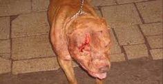 Porque muchos perros pitbulls inocentes mueren en las peleas y esas personas ganan muchisimo dinero gracias a la muerte de muchos como dije antes inocentes perros viejos, cachorros, adultos de toda clase o raza, no solo los pibull y no solo ellos son usados como maquinas de matar sino tambien los rotweilers y los bull terrier, los dogos argentinos o dogos del tibet