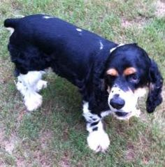Jax / New photos! is an adoptable Cocker Spaniel Dog in Sugar Hill, GA. Update from Jax's foster mom: 6.16.12 Jax has finished his heartworm treatment and has been neutered and had his cherry eye repa...