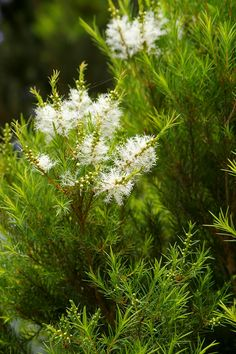 Tea Tree Oil (Melaleuca alternifolia)~ It has a fresh, medicinal scent. It has anti-bacterial, anti-viral and anti-fungal effects.~ ~  Helps fight colds, flu and fungal infections,   Alleviates asthma, bronchitis, sinusitis and coughs.  ~  Alleviates cystitis, vaginal thrush and urinary tract infections. ~ Caution:  Tea tree oil may irritate the skin. ~ oil comes from the roots of the tree.