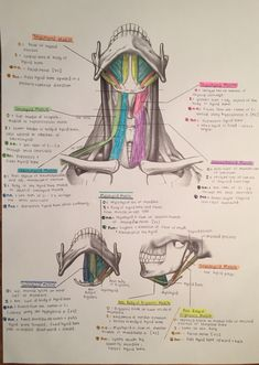 Muscles of the Anterior Triangle of the Neck- For eating and drinking Dental Anatomy, Medical Anatomy, Med Student, Physical Therapy School, Medicine Notes, Dental Hygiene School, Nursing School Notes, Science Notes, Human Anatomy And Physiology
