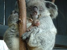 ad40903f466a Totally adorable mom and baby Koalas. Fur Babies