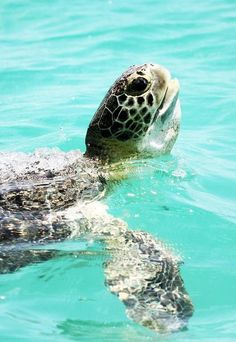 Sea Turtle by Lehner Expression