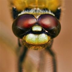 Dragonflies and damselflies are fascinating insects which can be particularly photogenic due to their bright colours and. Dragonfly Photography, Macro Photography Tips, Insect Photography, Close Up Photography, Outdoor Photography, Dragonfly Eyes, Digital Photography School, Tree Silhouette, Photo Projects
