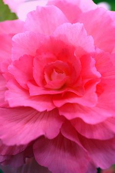 'Pink Begonia' • Shingan Photography via Flickr