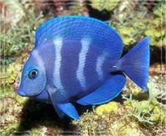 Blue saltwater fish