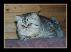 Hauska-Faustina v. Antennaria, born 19th May 2000, Exotic Shorthair chocolate silver spotted tabby
