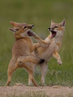 Swift Fox kits at play. by Richard Goluch on 500px