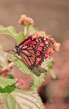 pink brown butterflies - Google Search