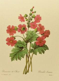 Old botanical plate by J.P. Redoute