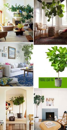 1000 Images About Fiddle Leafed Fig On Pinterest Fiddle