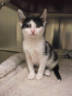 Meet Mojito # 150472, a Petfinder adoptable Domestic Short Hair-black and white Cat   Lebanon, OH   This is just one of the great pets at the shelter waiting for a home.  We have dogs and cats...