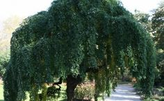 Weeping Japanese pagoda Tree!!  I LOVE these!
