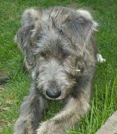 Irish Wolfhound puppy  Somethings interesting