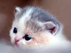 Scottish Fold kitten <3