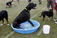 Barrock the Great Dane takes a time-out to cool off.