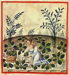 Harvesting beets. Notice the wide weave on the basket. The Tacuinum of Rouen - early 15th century